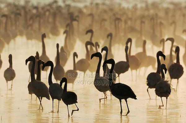 Greater Flamingo (Phoenicopterus roseus) and Lesser Flamingo (Phoeniconaias minor), large group at sunrise, Lake Nakuru, Kenya, Africa