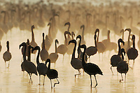 Greater Flamingo (Phoenicopterus roseus) and Lesser Flamingo (Phoeniconaias minor), large group at sunrise, Lake Nakuru, Kenya, Africa