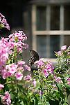 Seeling Farm, Trout Run, PA. Spicebush Swallowtail butterfly