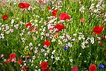 Deutschland, Bayern, Chiemgau: Blumenwiese | Germany, Bavaria, Chiemgau: flower meadow