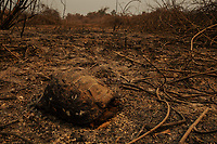A dead tortoise, killed by a wildfire, lies beside the Transpantaneira road, in the Pantanal of Mato-Grosso.