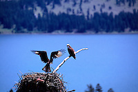 Osprey Pair (Pandion haliaetus) at Nest, Okanagan, BC, British Columbia, Canada