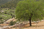 Israel, the Upper Galilee. Hawthorn tree by the road between Horpish and Beth Jan