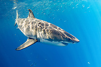 great white shark, Carcharodon carcharias, Guadalupe Island, Mexico, Pacific Ocean