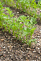Young seedlings of carrot 'Resistafly', mid June.