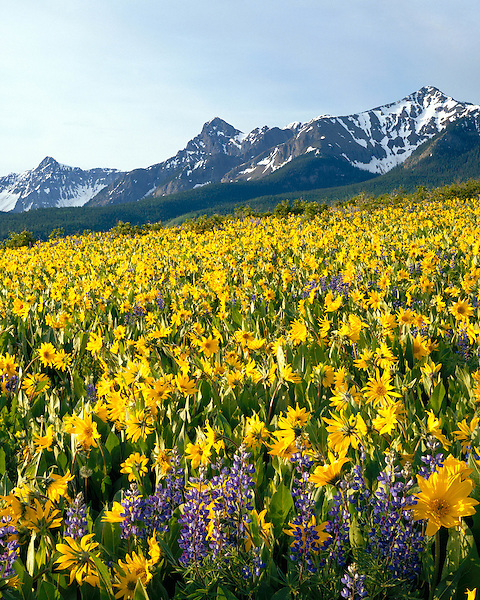 Sunflowers and Lupine with the Sneffels Range, San Juan Mountains, Colorado, USA. .  John offers private photo tours and workshops throughout Colorado. Year-round. John guides custom photo tours in the Sneffels Range and throughout Colorado.