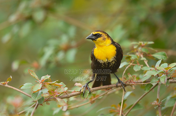 Yellow-headed Blackbird (Xanthocephalus xanthocephalus), adult female, South Padre Island, Texas, USA