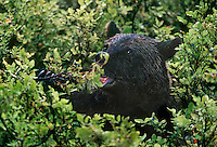 609680005 a wild brown bear or grizzly bear ursus arctos feeds on a berry plant in a temperate rainforest near hyder alaska