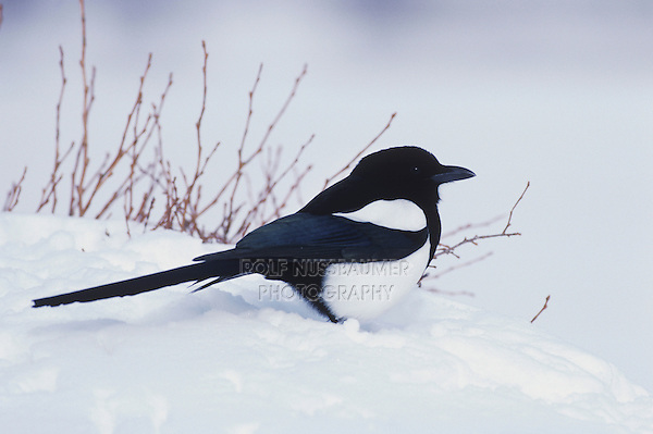Black-billed Magpie (Pica hudsonia),adult in snow, Rocky Mountain National Park, Colorado, USA