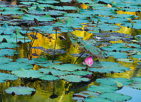 Graphic vison of nature in a Lotus Lili Pond near Phitsanulok, Central Thailand.