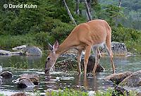 0623-1026  Northern (Woodland) White-tailed Deer Drinking Water, Odocoileus virginianus borealis  © David Kuhn/Dwight Kuhn Photography