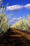 Blossom Trail, Near Sacremento, CA