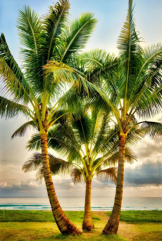 Three palm trees in Hanalei Bay, Kauai, Hawaii.