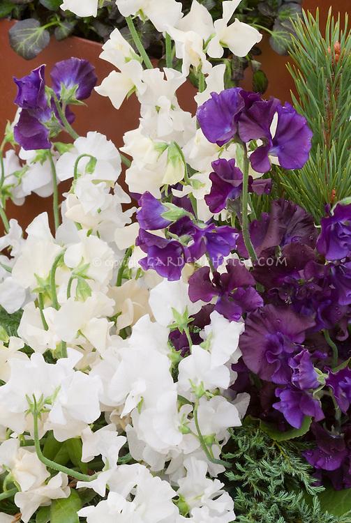 Sweet Peas in white, purple, cream Lathyrus odoratus