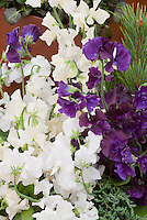 Sweet Peas in white, purple, cream Lathyrus odoratus