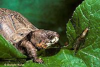 1R07-043z  Eastern Box Turtle - preparing to eat slug prey -  Terrapene carolina