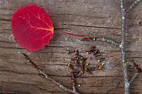 Zitterpappel, Herbstlaub und Knospen, Zitter-Pappel, Pappel, Espe, Aspe, Populus tremula, Aspen, European aspen, quaking aspen, Le Peuplier tremble, Tremble, Tremble d'Europe, Blatt, Blätter, Pappelknospen, Pappelknospe, leaf, leaves, Knospe, bud, buds, Herbstlaub, Herbstfärbung, Herbstverfärbung, Herbstfarben, autumn foliage, fall foliage, autumn colors, autumn colours