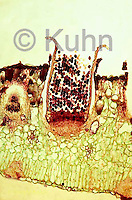 PX50-008b  Wheat Rust Fungus - on barberry leaf, aecium with aeciospores - Puccinia graminis  100x