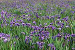 Iris, Eklutna Flats, Anchorage, Alaska, USA