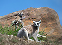 """16/05/16<br /> <br /> """"This is way too slippery!""""<br /> <br /> Three baby ring-tail lemurs began climbing lessons for the first time today. The four-week-old babies, born days apart from one another, were reluctant to leave their mothers' backs to start with but after encouragement from their doting parents they were soon scaling rocks and trees in their enclosure. One of the youngsters even swung from a branch one-handed, at Peak Wildlife Park in the Staffordshire Peak District. The lesson was brief and the adorable babies soon returned to their mums for snacks and cuddles in the sunshine.<br /> All Rights Reserved F Stop Press Ltd +44 (0)1335 418365"""