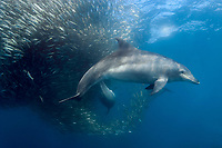 Indo-Pacific bottlenose dolphin, Tursiops aduncus, feeding on a baitball of sardines, or Southern African pilchards, Sardinops sagax ocellatus, during annual sardine run, Transkei, Eastern Cape, South Africa, Indian Ocean