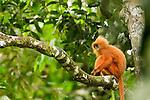 Red Leaf Monkey (Presbytis rubicunda) female in tree, Tawau Hills Park, Sabah, Borneo, Malaysia