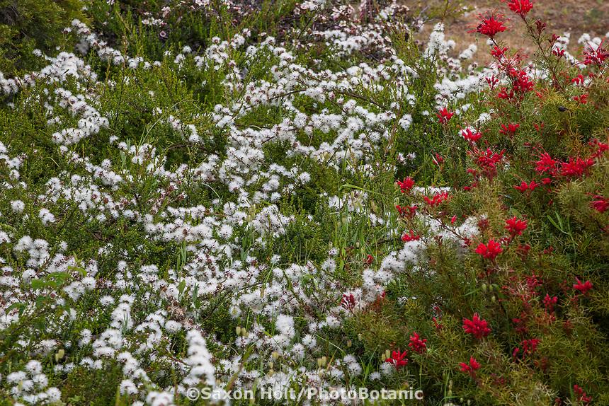 Kunzea pomifera, Muntries or Pink Buttons flowering Australian shrub with Grevillea wilsonii flowering in UC Santa Cruz Arboretum and Botanic Garden