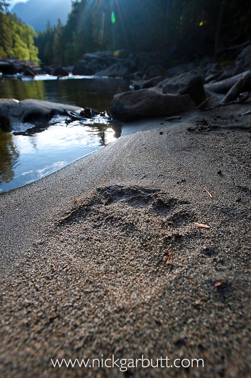 Adult grizzly bear (Ursus arctos horribilis) footprint along the Atnarko River, Tweedsmuir Park, British Columbia, Canada, September 2009