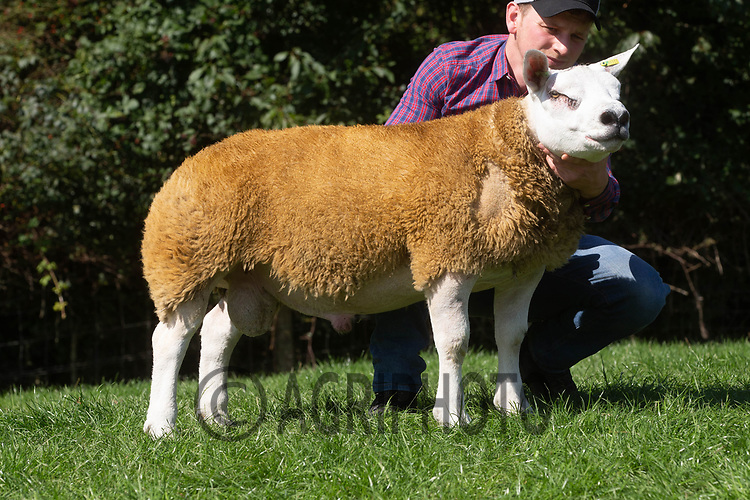 1.9.2020 Texel Sheep Society English National Sale<br /> Lot 310 Topbank Daffy Duck owned by Lewis Hughes Morgan sold for 2400 gns<br /> ©Tim Scrivener Photographer 07850 303986<br />      ....Covering Agriculture In The UK.