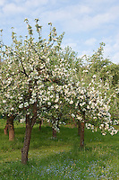 Kultur-Apfel, Apfelbaum, Streuobstwiese, Streu-Obstwiese, Obstwiese, Apfel, Obstplantage, Obstanbau, Obst, während der Blüte, Apfelbaumblüte, Malus domestica, Apple, Pommier commun