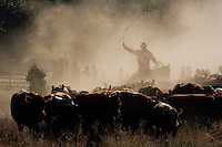 """An iconic western image of a single cowboy -- a cowpuncher -- driving his herd the traditional way through early morning dust, swinging his lariat high in a round loop, a near silhouette image, with little detail in the dark cattle images or cowboy's face, and dust obscuring dense green tree foliage beyond old wooden fence.  This image accompanies well with """"Driving Thru Dust,"""" """"Teaming to Work the Herd,"""" and """"Cowpunchers saddle."""""""