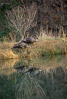 two wild turkeys reflected in water while they explore and drink, MO USA