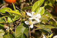 Gewöhnliche Mandarine, reife Früchte und Blüten am Baum, Citrus reticulata, Common Mandarin