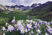 Mountains and wildflowers in alpine meadow,Blue Columbine,Colorado Columbine,Aquilegia coerulea, Tall Larkspur, Ouray, San Juan Mountains, Rocky Mountains, Colorado, USA, July 2007