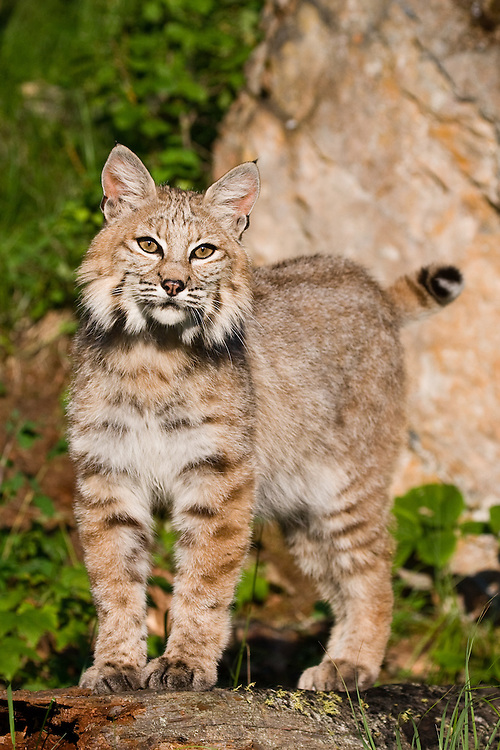Bobcat standing on an old log - CA