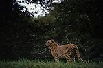 Cheetah standing looking out at Wildlife Safari Winston Oregon State USA
