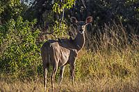 Africa, Botswana, Okavango Delta, Khwai Private Reserve. Greater Kudu.