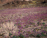 Sunrise light on a field of Phacelia (Phacelia calthifolia) along Artists Drive; Death Valley National Park , CA
