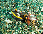 The diminutive flamboyant cuttlefish, only a few centimeters long, is usually seen where the sea bed is flat and sandy.