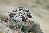 Ferruginous Hawk (Buteo regalis) nest with chicks. Sublette County, Wyoming. June.