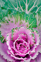 Dynasty Pink flowering cabbage. Al's Garden Nursery, Oregon