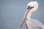 La Jolla Cove, La Jolla, California; a Brown Pelican (Pelecanus occidentalis) standing on the cliffs overlooking the Pacific Ocean