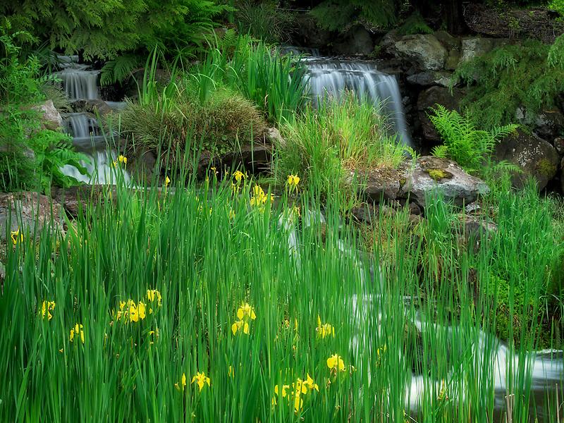 Iris and waterfall. The Oregon Garden. Silverton, Oregon