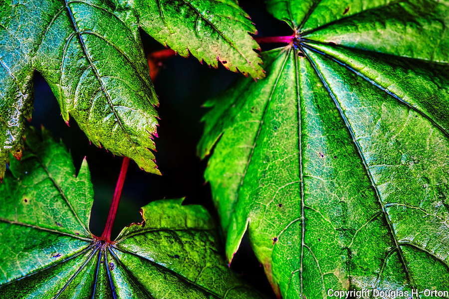 Vine Maple, Acer Circinatum, a Pacific Northwest Native ornamental grows primarily in the coastal understory primarily on the western side of the coastal mountains.  0Olympic Penninsula, Washington.  Outdoor Adventure. Olympic Peninsula