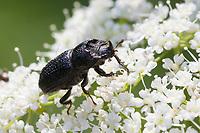 Kopfhornschröter, Kopfhorn-Schröter, Baumschröter, Sinodendron cylindricum, rhinoceros beetle, small European rhinoceros beetle, rhinoceros stag beetle