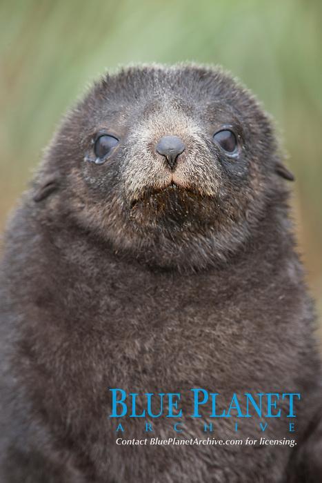 Antarctic fur seal, young pup, juvenile.
