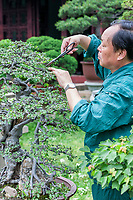 Suzhou, Jiangsu, China.  Gardener Trimming Bonzai Tree, Tiger Hill.