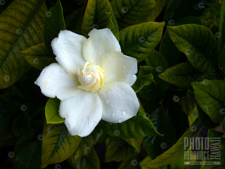 A close-up of a single white gardenia (Gardenia jasminoides) surrounded by its dark green leaves, in a Big Island garden.