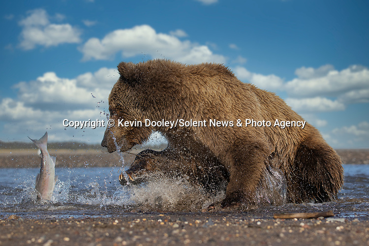 Pictured: The thrashes free from the bear's claws and escapes.  Sequence 9 of 10.<br /> <br /> A brown bear struggles to catch a thrashing salmon as the fish tries to escape its deadly paws.  The fish are a vital part of this young male's diet, providing up to nine pounds of fat each day which is necessary to survive the harsh Alaskan winter.<br /> <br /> Though the fish often slip away, this one was caught by the bear on his second attempt.  The photographs were taken by professional wildlife photographer Kevin Dooley in Southwest Alaska, in the United States.  SEE OUR COPY FOR DETAILS.<br /> <br /> Please byline: Kevin Dooley/Solent News<br /> <br /> © Kevin Dooley/Solent News & Photo Agency<br /> UK +44 (0) 2380 458800