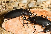 0105-0905  Pair of Superworm Adults (Zophobas Beetle) Feeding on Fruit, Zophobas morio  © David Kuhn/Dwight Kuhn Photography